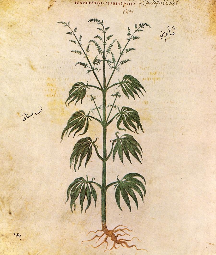 Запазена рисунка на конопено растение
