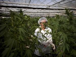 Израел води в медицинската марихуана