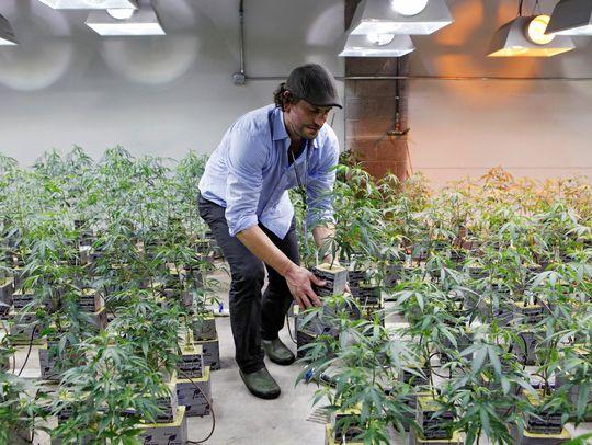 Инвеститори и медицинска марихуана