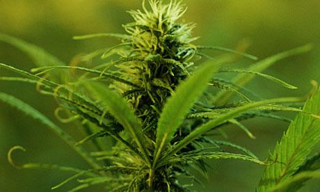 Marijuana-plant-007