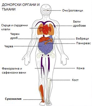 Донорски органи и тъкани