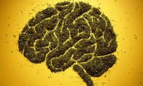 Открит е генът, който определя рискът от поява на психоза у употребяващите канабис